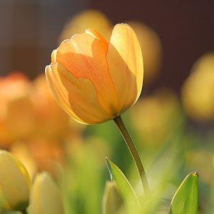 tulpen stop met roken en houd een interne schoonmaak.